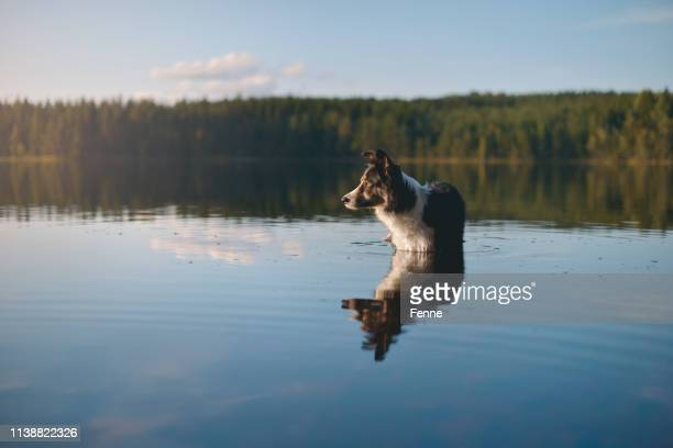 dog wading through the water - wading stock pictures, royalty-free photos & images
