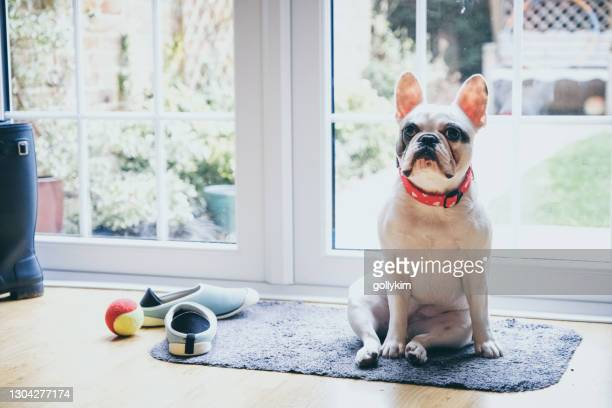 dog waiting by the door to go outside - pet toy stock pictures, royalty-free photos & images