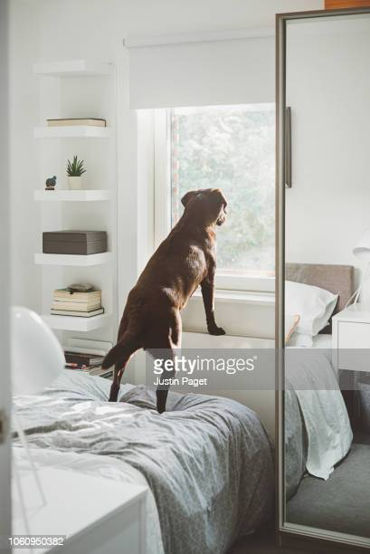 dog waiting for owner - chocolate labrador stock pictures, royalty-free photos & images
