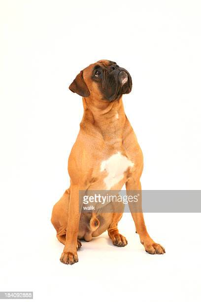dog waiting for reward - boxer dog stock pictures, royalty-free photos & images