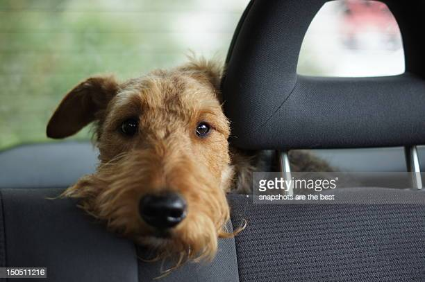 dog waiting in car - car interior stock pictures, royalty-free photos & images