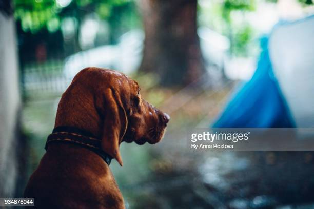 Dog waiting outdoors in camp under rain