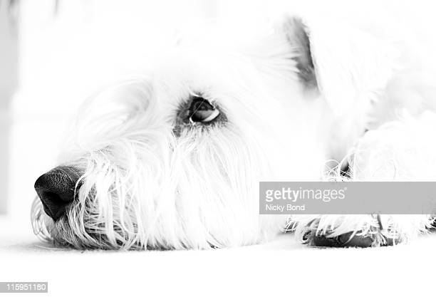 dog waiting - soft coated wheaten terrier stock photos and pictures
