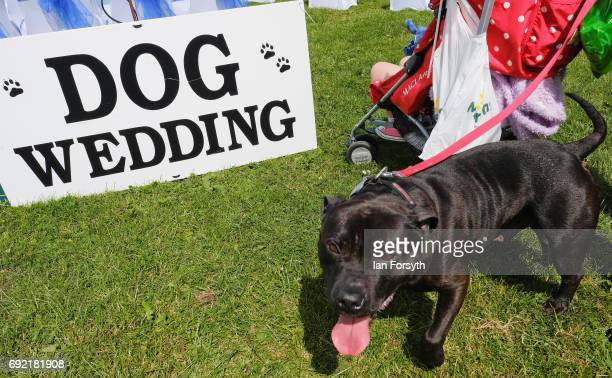 Dog waits for a dog wedding to begin during events at the Great North Dog Walk on June 4, 2017 in South Shields, England. Founded in 1990 by former...