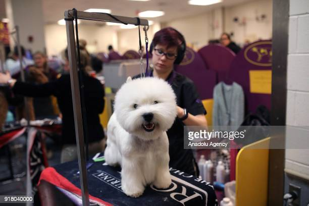 A dog waits for competing to become best during the second day of the 142nd Westminster Kennel Club Dog Show at the Madison Square Garden in New York...