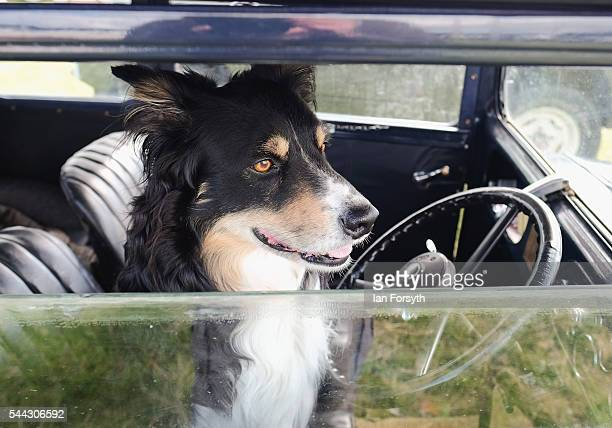 A dog waits for her owner inside a vintage car at the annual Duncombe Park Steam Fair on July 3 2016 in Helmsley England Held in the picturesque...