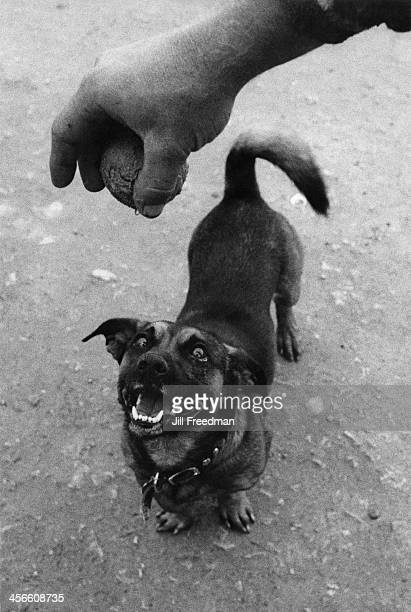 A dog waits in anticipation for its owner to drop a ball USA 1985