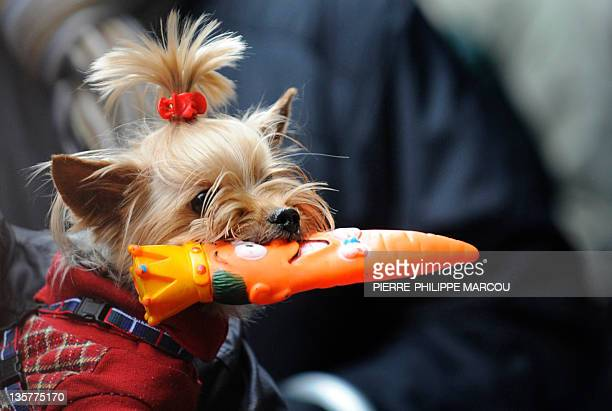 Dog waits to be blessed during the celebration for the feast of Saint Anthony, patron saint of animals, in Madrid, on January 17, 2010. AFP PHOTO /...