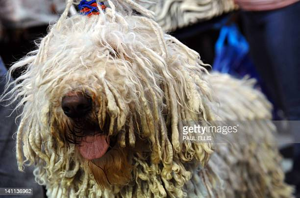 A dog waits to be judged on the final day of the Crufts Dog Show at The National Exhibition Centre in Birmingham central England on March 11 2012 The...