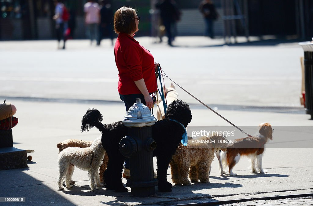 A dog walker awaits dogs to go on a crosswalk in New York, April 8, 2013. Seasonal temperature soared above 70 degrees Fahrenheit (21 degrees Celcius) for the first time since Spring started. AFP PHOTO/Emmanuel Dunand