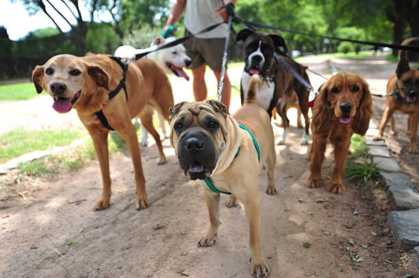 dog walker in buenos aires picture id124465293?k=20&m=124465293&s=612x612&w=0&h=xXfkFfIFpXIbhqLxNdtYzPVJPF eRQPCBWq7t4lWMXs=