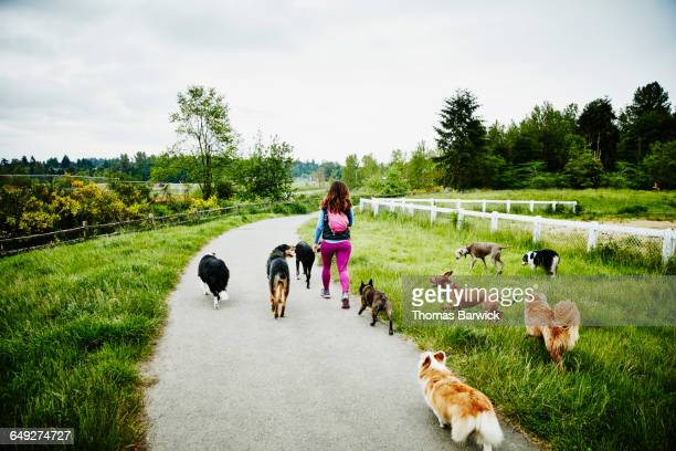 dog walker leading pack of dogs through park - medium group of animals stock pictures, royalty-free photos & images
