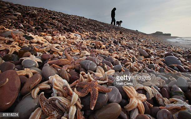 A dog walker looks at some of the thousands of starfish that have been washed up on the beach at Budleigh Salterton on March 18 2010 in Devon England...