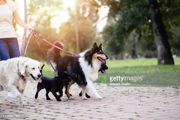 dog walker - gruppo di animali foto e immagini stock