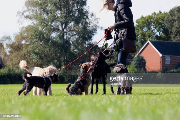 dog walker - st. albans stock pictures, royalty-free photos & images