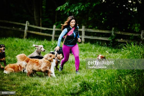 dog walker running group of dogs through field - medium group of animals stock pictures, royalty-free photos & images
