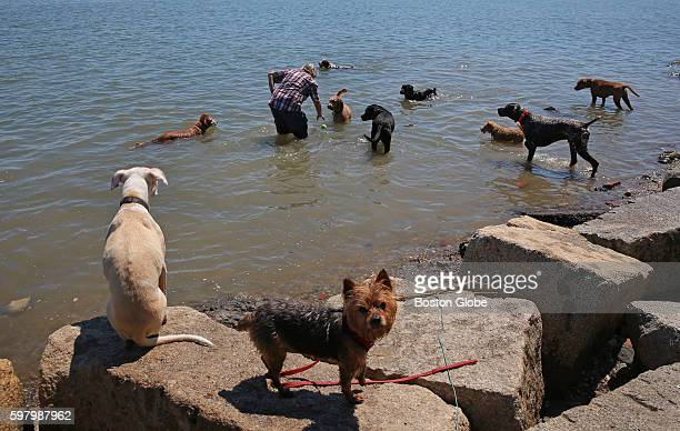 Dog walker Sandy Hudson gets ready to toss a ball to entertain these canines in the water at Victory Park in Dorchester Aug 3 2016