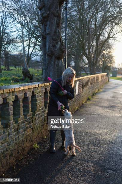 A dog walker struggles to control an excitable Cockapoo puppy on 28th February 2017 in Ruskin Park London borough of Lambeth England A Cockapoo is a...