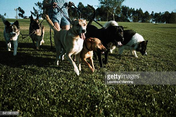 dog walker walking dogs in park - medium group of animals stock pictures, royalty-free photos & images