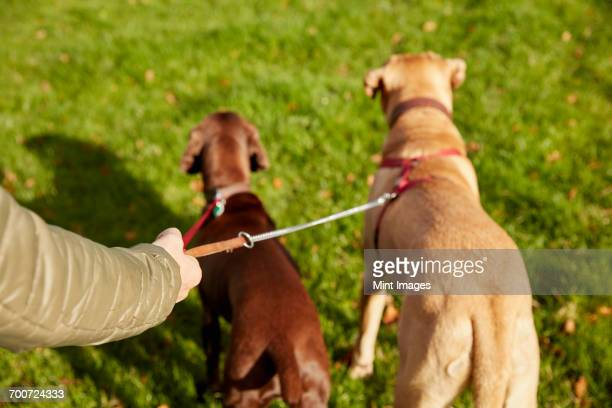 dog walker with two dogs on leads - dog walker stock photos and pictures