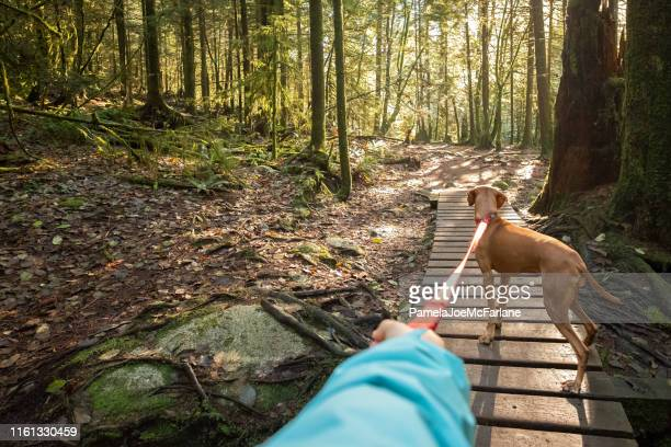 dog walker's pov, holding leashed vizsla dog in sunlit forest - footpath stock pictures, royalty-free photos & images