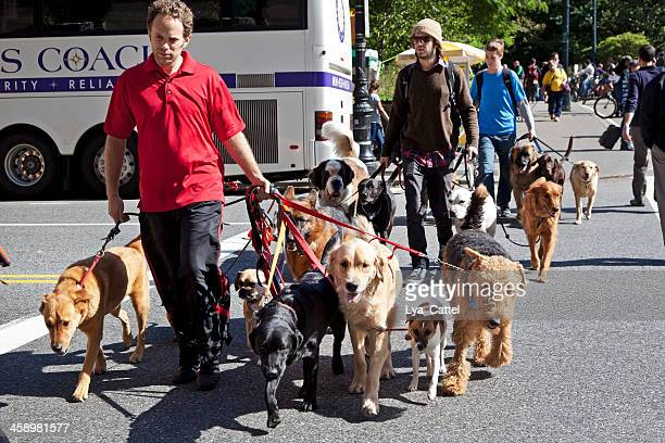 dog walkers new york city - dog walker stock photos and pictures