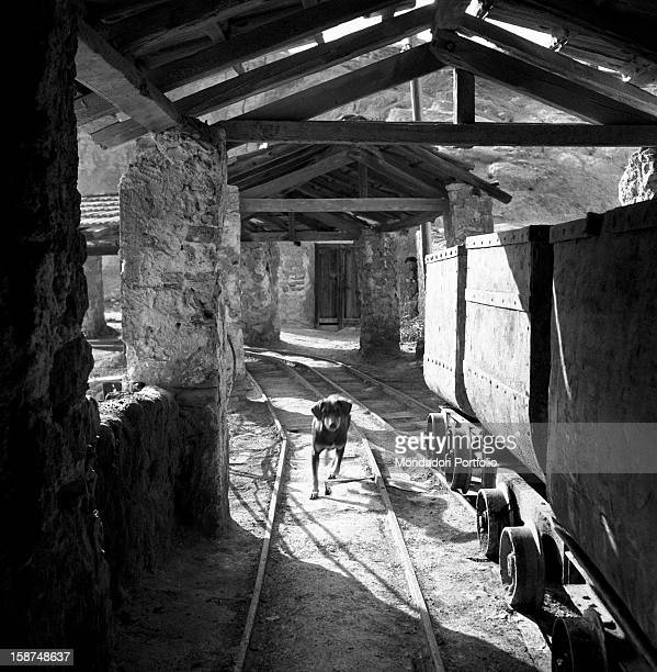 A dog walking beside some carts loaded with the sulphur won in a mine near Agrigento Sicily 1955
