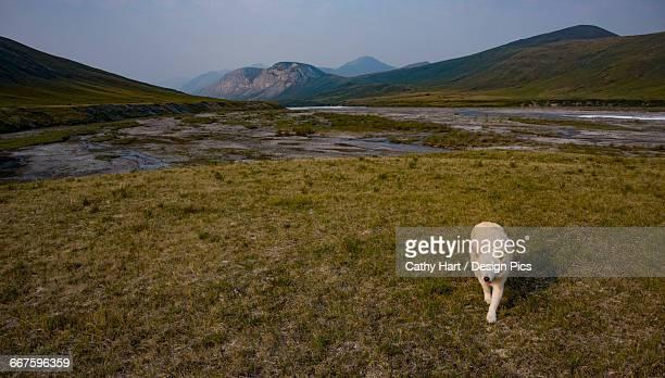 dog walking in the brooks range on the marsh fork of the canning river, arctic national wildlife refuge, arctic alaska, summer - 国立野生生物保護区 ストックフォトと画像