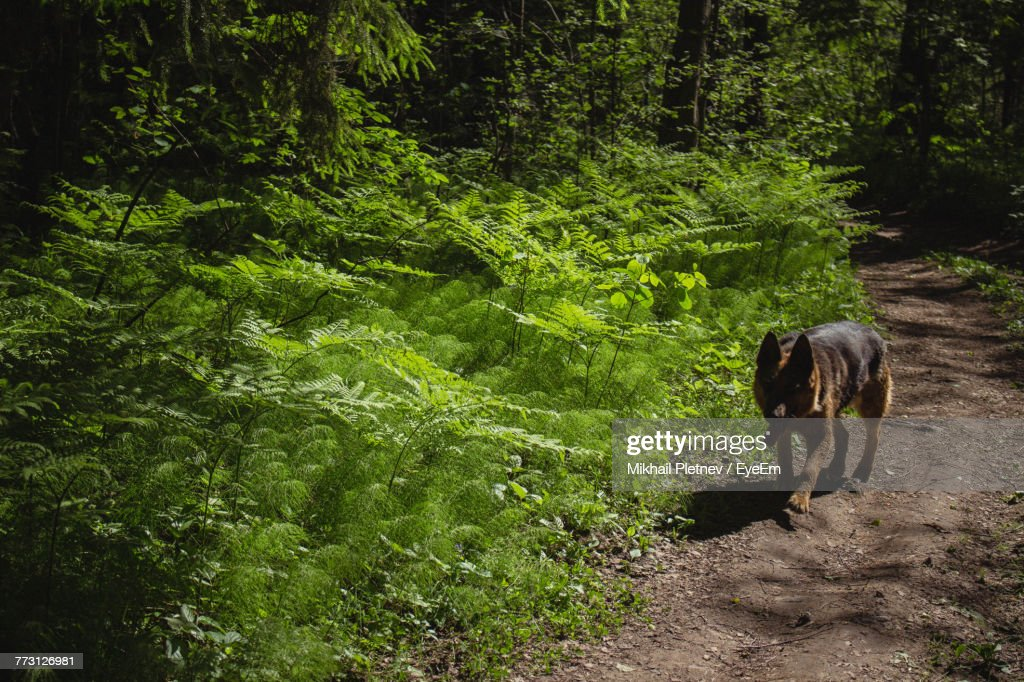 Dog Walking On Footpath At Forest : Photo
