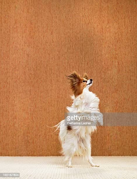 Dog (Canis lupis familiaris) walking on hind legs