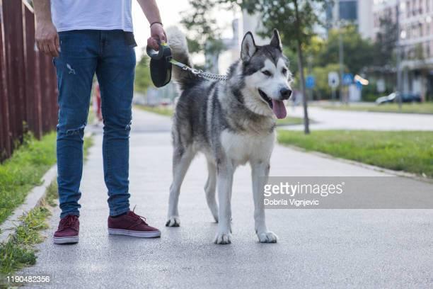 飼い主の側を歩く犬 - マラミュート犬 ストックフォトと画像