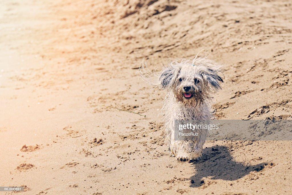 Dog walking on the beach : Stock Photo