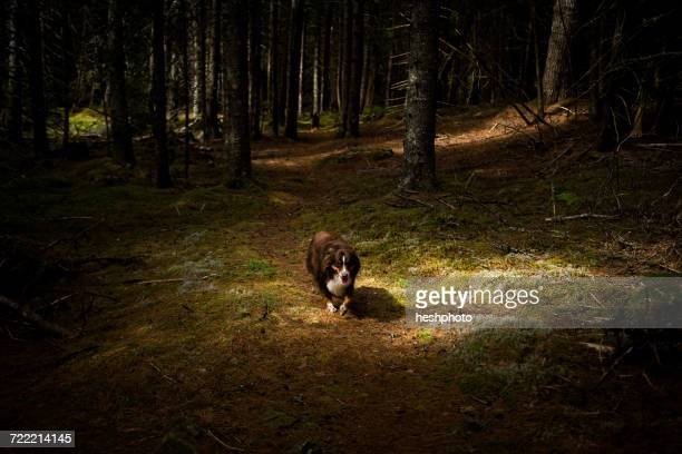 dog walking though dark forest, maine, usa - heshphoto stock pictures, royalty-free photos & images
