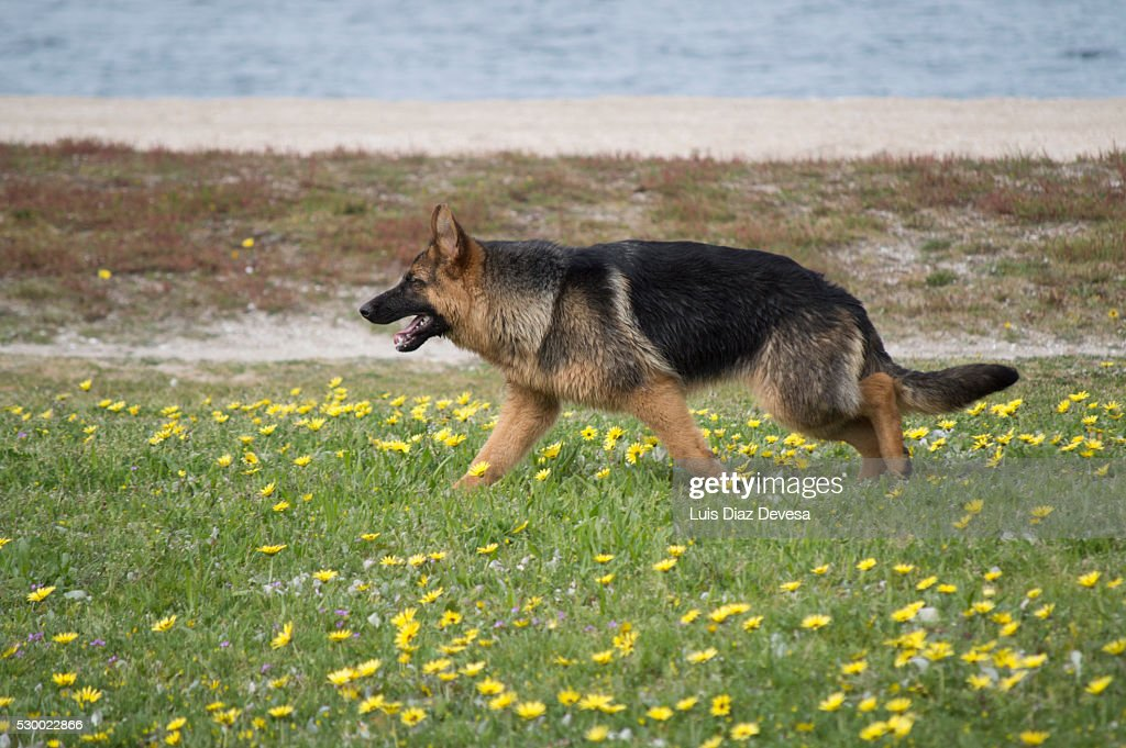 Dog walking through fields : Stock Photo
