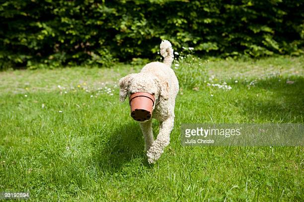A dog walking with a flower pot stuck on his snout