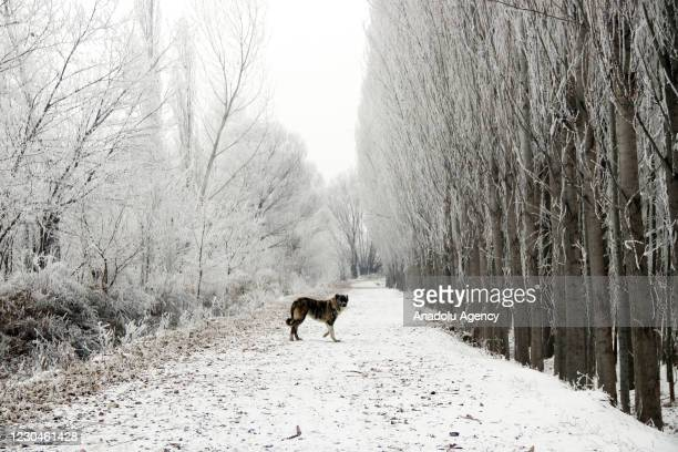 Dog walks along a path under frost-covered trees following freezes in Igdir, Turkey on January 7, 2020.