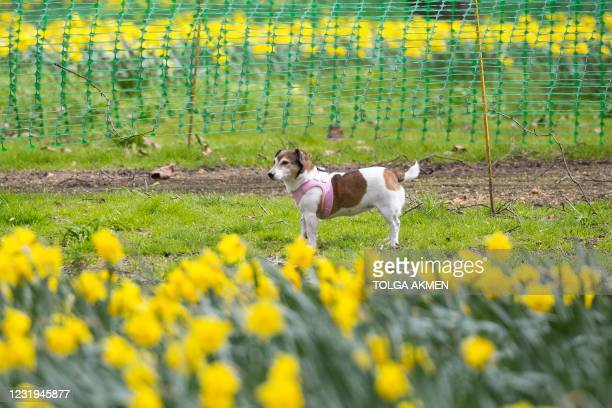 Dog walks around daffodils at Green Park in central London on March 26, 2021.