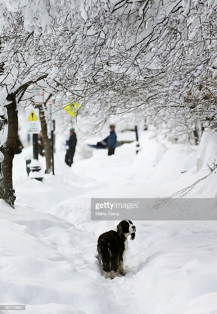 A dog walks beneath trees shrouded in snow on Beacon Street following a powerful blizzard on February 9, 2013 in Boston, Massachusetts. The storm knocked out power to 650,000 and dumped more than two feet of snow in parts of New England.