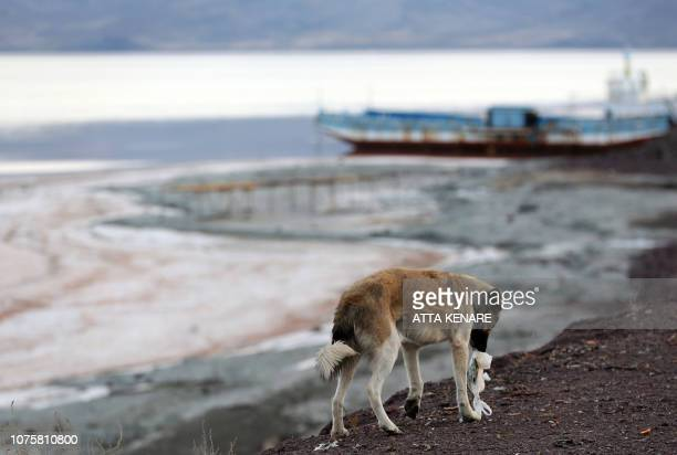 A dog walks by the shore of the salt lake of Urmia in the northwest of Iran which had been shrinking in one of the worst ecological disasters of the...