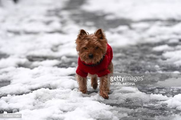 Dog walks on a snow covered street during a snowfall, on December 28, 2020 in Milan.