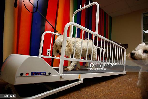 A dog walks on a treadmill in the daycare area at the grand opening of the fourth Pooch Hotel on May 3 2012 in Hollywood California The Pooch Hotel...