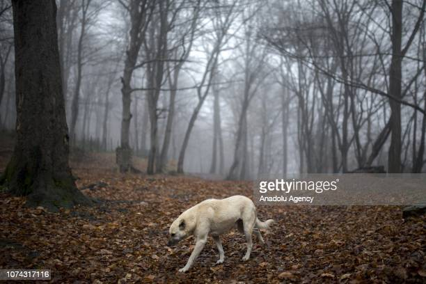 A dog walks on leaves at Belgrade Forest during heavy fog in Istanbul Turkey on December 17 2018