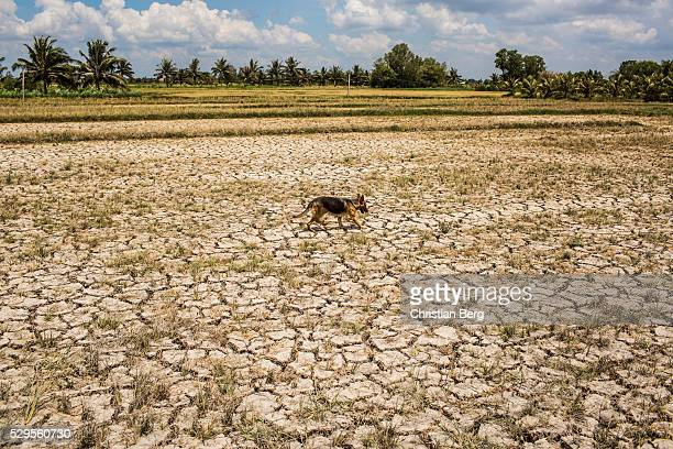 A dog walks over a drought hit plot of land on May 04 2016 in Ben Tre Province Vietnam Vietnam's Mekong Delta had been hit by its worst drought in 90...
