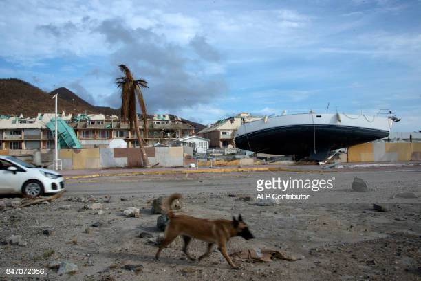 A dog walks past a boat on the land and damages on September 14 2017 in Marigot on the French Caribbean island of Saint Martin after the island was...