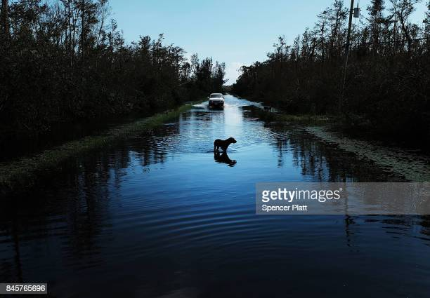 A dog walks through a flooded street in a rural part of Naples the day after Hurricane Irma swept through the area on September 11 2017 in Naples...