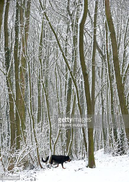 A dog walks through snowcovered trees on December 19 2010 on the Monts des cats small hill near Godewaersvelde after heavy snow The four runways of...
