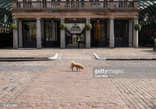 A dog walks through the deserted Covent Garden piazza on April 01 2020 in London United Kingdom The Coronavirus pandemic has spread to many countries...