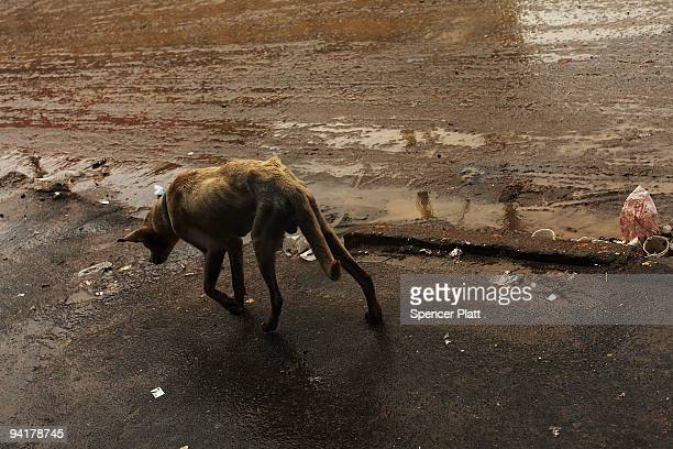 A dog walks through the litter strewn streets of the Jardim Gramacho waste disposal site on December 9 2009 in Jardim Gramacho Brazil Referred to as...