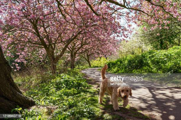 Dog walks underneath cherry trees in full blossom on April 15, 2020 in Saltburn By The Sea, United Kingdom. The Coronavirus pandemic has spread to...