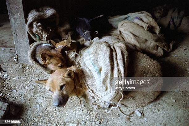 A dog watches and waits before it is killed with others in an openair abattoir below a local market in Kohima Nagaland Dog meat is commonly eaten...